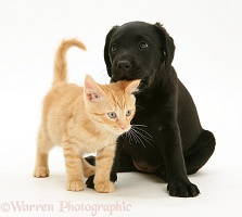 Black Labrador Retriever pup with ginger kitten