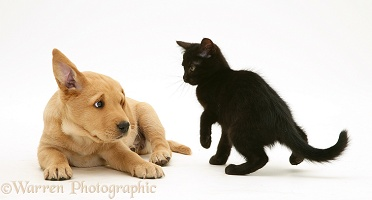 Black kitten and Yellow Labrador Retriever pup