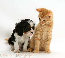 Cavalier King Charles Spaniel pup with ginger cat