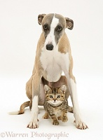 Whippet and tabby kitten