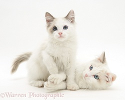 Ragdoll cat and kitten