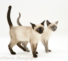 Seal-point and Blue-point Siamese kittens walking together