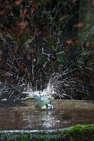Blue tit bathing strobe