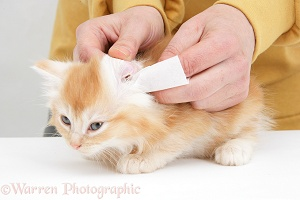 Wiping the ear of a ginger Maine Coon kitten
