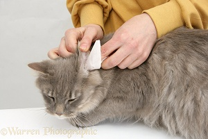 Wiping the ear of a Maine Coon cat