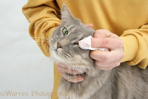 Wiping the eye of a Maine Coon cat