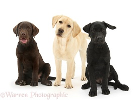 Three different Labrador pups