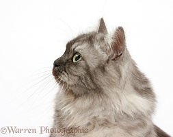 Persian x Birman cat