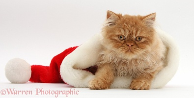 Ginger Persian male kitten in a Santa hat