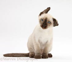 Siamese kitten, 10 weeks old, shaking its head