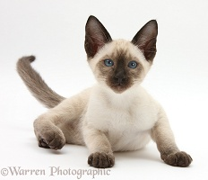 Siamese kitten, 10 weeks old