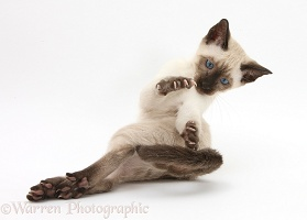 Siamese kitten, 10 weeks old, doing 'aerobics'