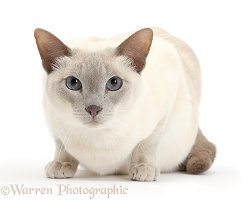 Siamese-cross cat