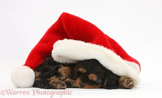 Sleeping black-and-tan Cavapoo pup in a Santa hat
