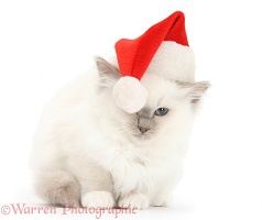 Blue-point kitten wearing a Santa hat