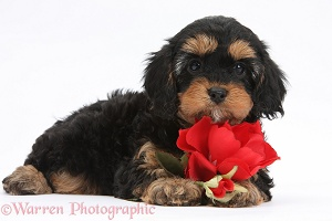 Cavapoo pup with a red rose