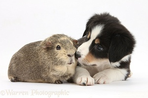 Guinea pig and black-and-white Border Collie puppy