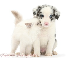 Blue-point kitten and merle-and-white Border Collie puppy