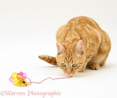 Ginger cat playing with a mouse toy