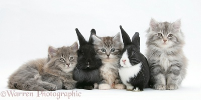 Maine Coon kittens, 8 weeks old, with rabbits