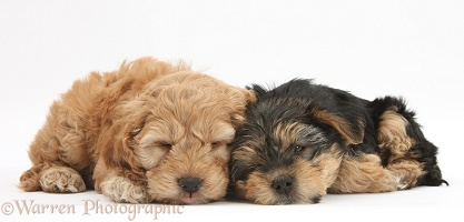 Sleepy Cavapoo pup and Yorkie pup