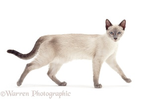 Blue-point Siamese cross cat, walking across