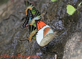 Butterflies drinking