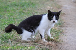 Black-and-white 'club-tailed' stray cat