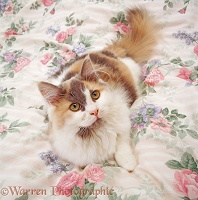 Persian-cross female cat lounging on a quilt