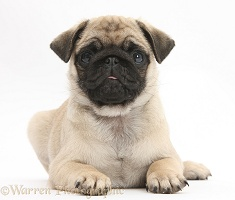 Fawn Pug pup, 8 weeks old, lying with head up