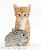 Ginger kitten, 7 weeks old, and baby silver Lop rabbit