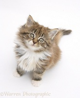 Maine Coon kitten, 7 weeks old, sitting looking up
