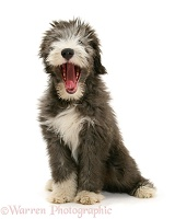 Bearded Collie pup yawning