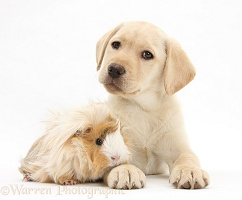 Yellow Labrador Retriever pup and Guinea pig