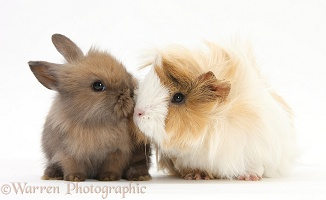 Guinea pig and baby Sandy Lop rabbit