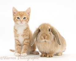 Ginger kitten, 7 weeks old, and young sandy Lop rabbit