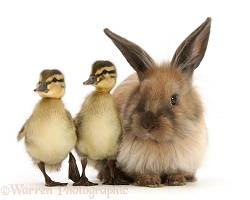 Young Lionhead-Lop rabbit and Mallard ducklings