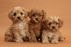 Three Cavapoo pups on brown background