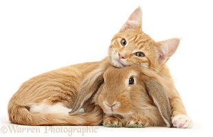 Ginger kitten with Sandy Lionhead-Lop rabbit