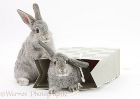 Two baby silver rabbits in a gift bag