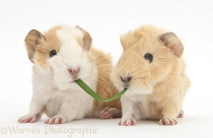 1 day old baby Guinea pigs eating grass