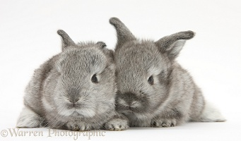 Two silver baby rabbits