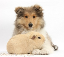 Rough Collie pup and Guinea pig