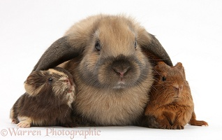 Baby Guinea pigs and rabbit