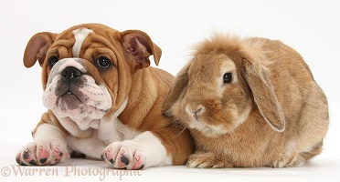 Bulldog pup, 11 weeks old, and Sandy Lop rabbit
