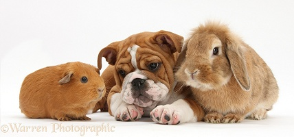Bulldog pup, Sandy Lop rabbit and red Guinea pig