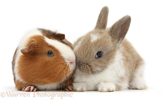 Baby rabbit and Guinea pig