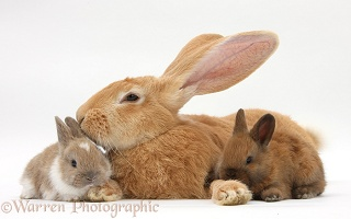 Flemish Giant Rabbit and baby rabbits