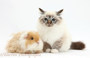 Birman cat and frizzy Guinea pig