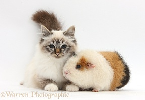Birman cat and Guinea pig